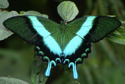 Majestic Green Swallowtail